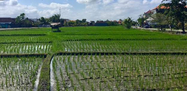 Canggu Rice Fields