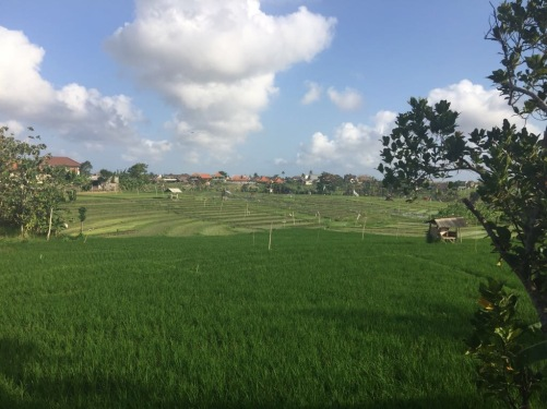 Canggu fields
