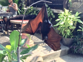 Big fruit bat! Also owned by the cafe