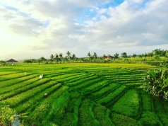 Tanah Lot Rice Fields