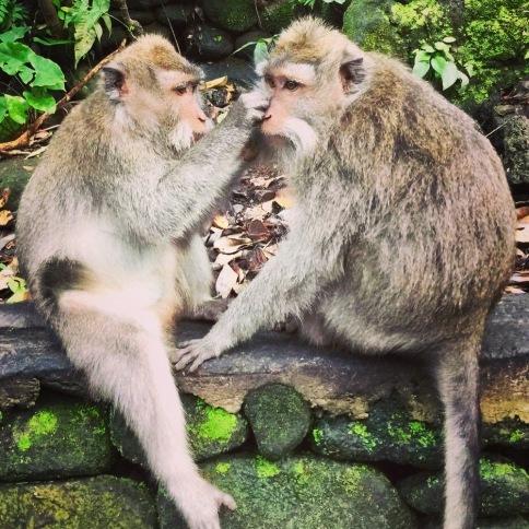 Monkeys grooming each other