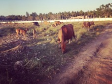 Cows on Gili T