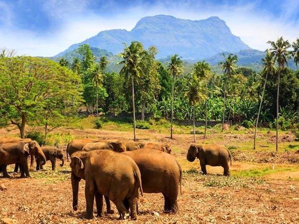 sri-lanka-elephant