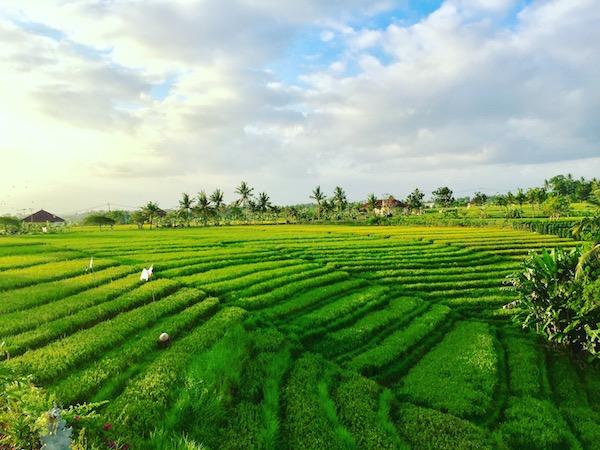 Tanah Lot Rice Fields