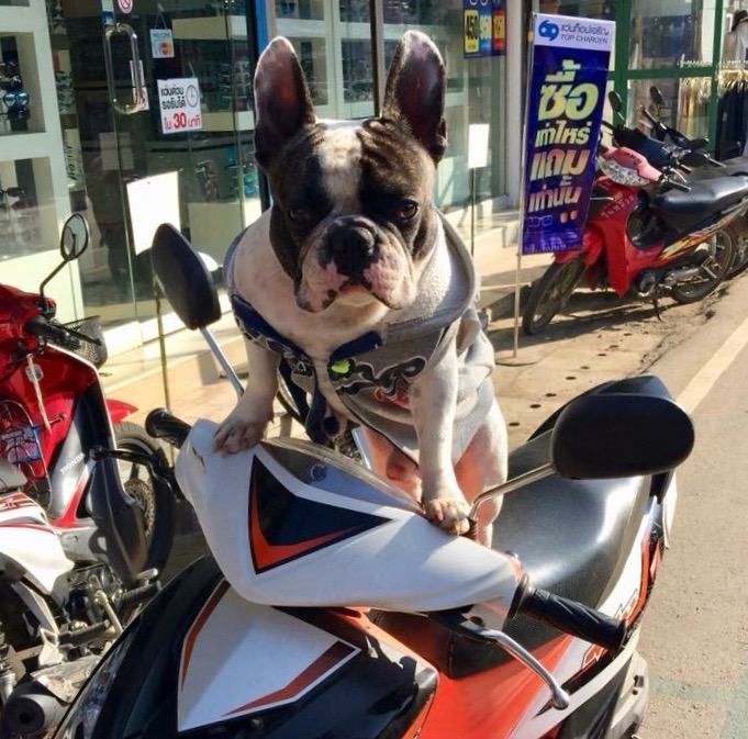 Doggie on a Scooter